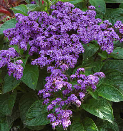 The Multicolored Diary: H is for Heliotrope, and blaming ...