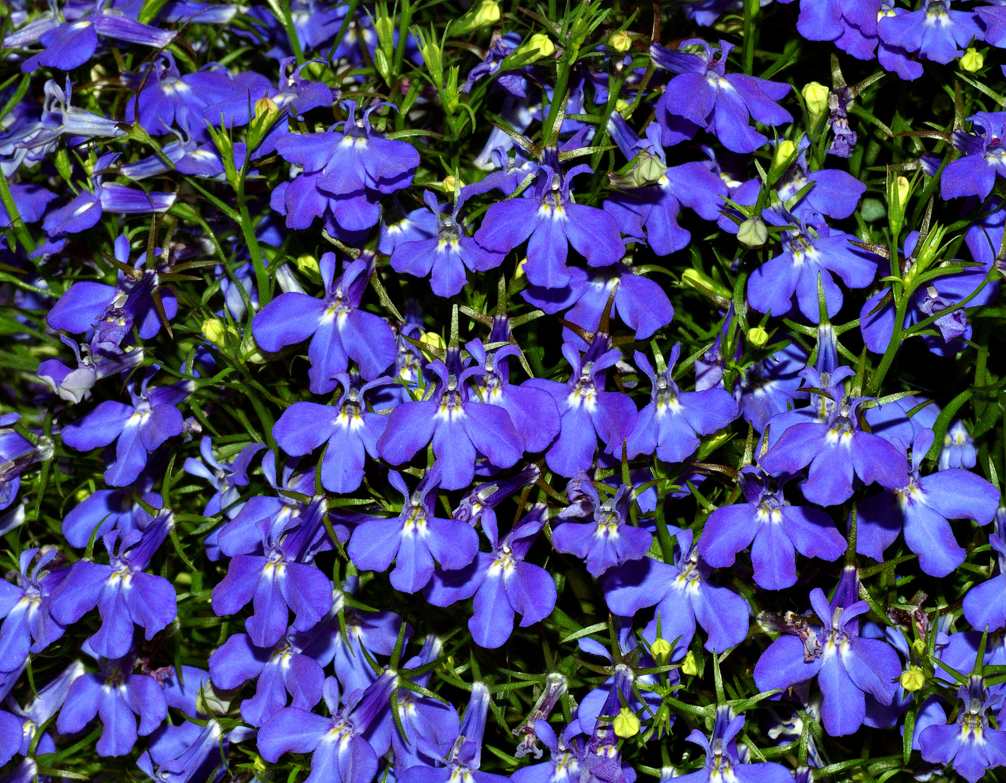 Photo Lobelia