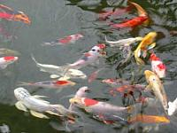 Quality koi and unusual fish